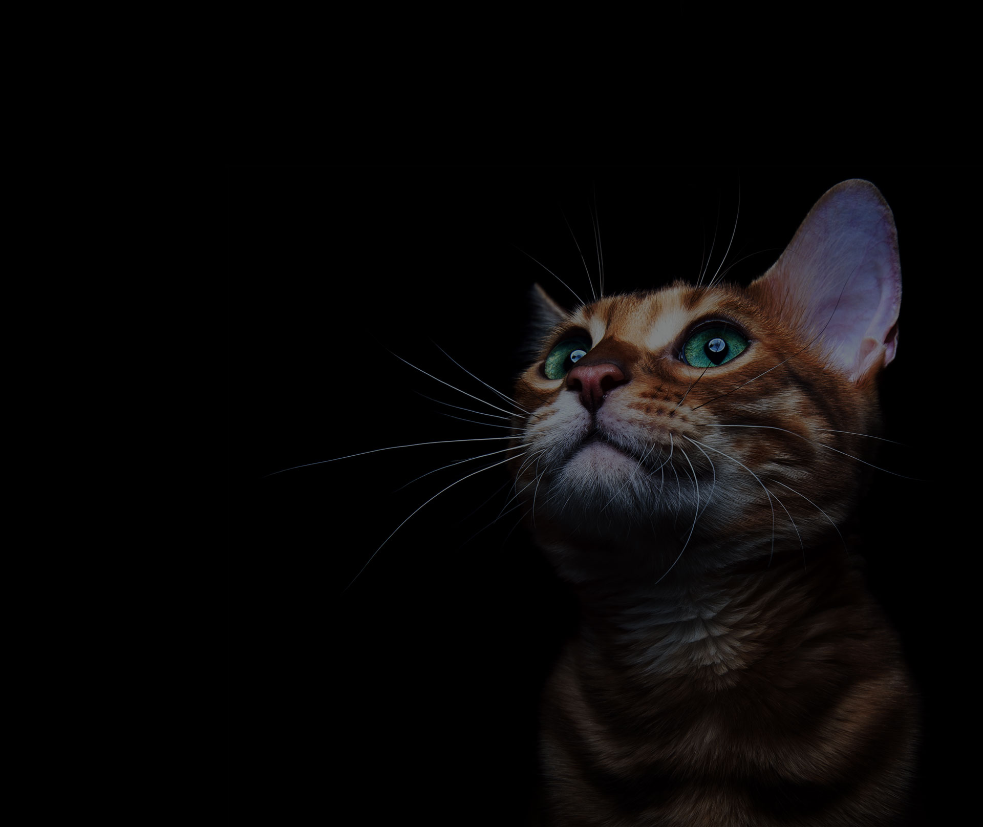 Beautiful bengalensis cat ifs isolated on a black background. - Image
