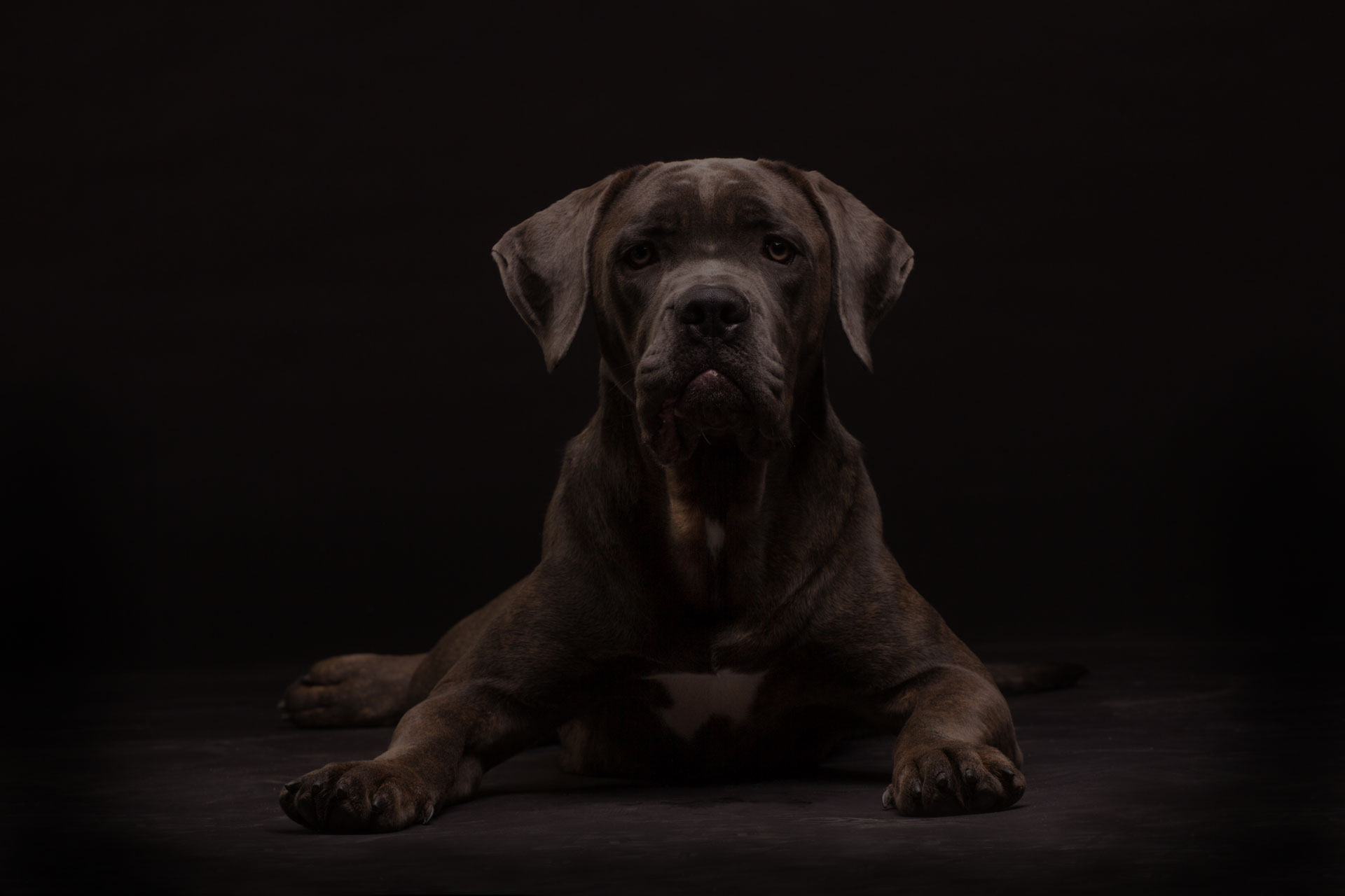 Cane corso, dog on the black background - Image