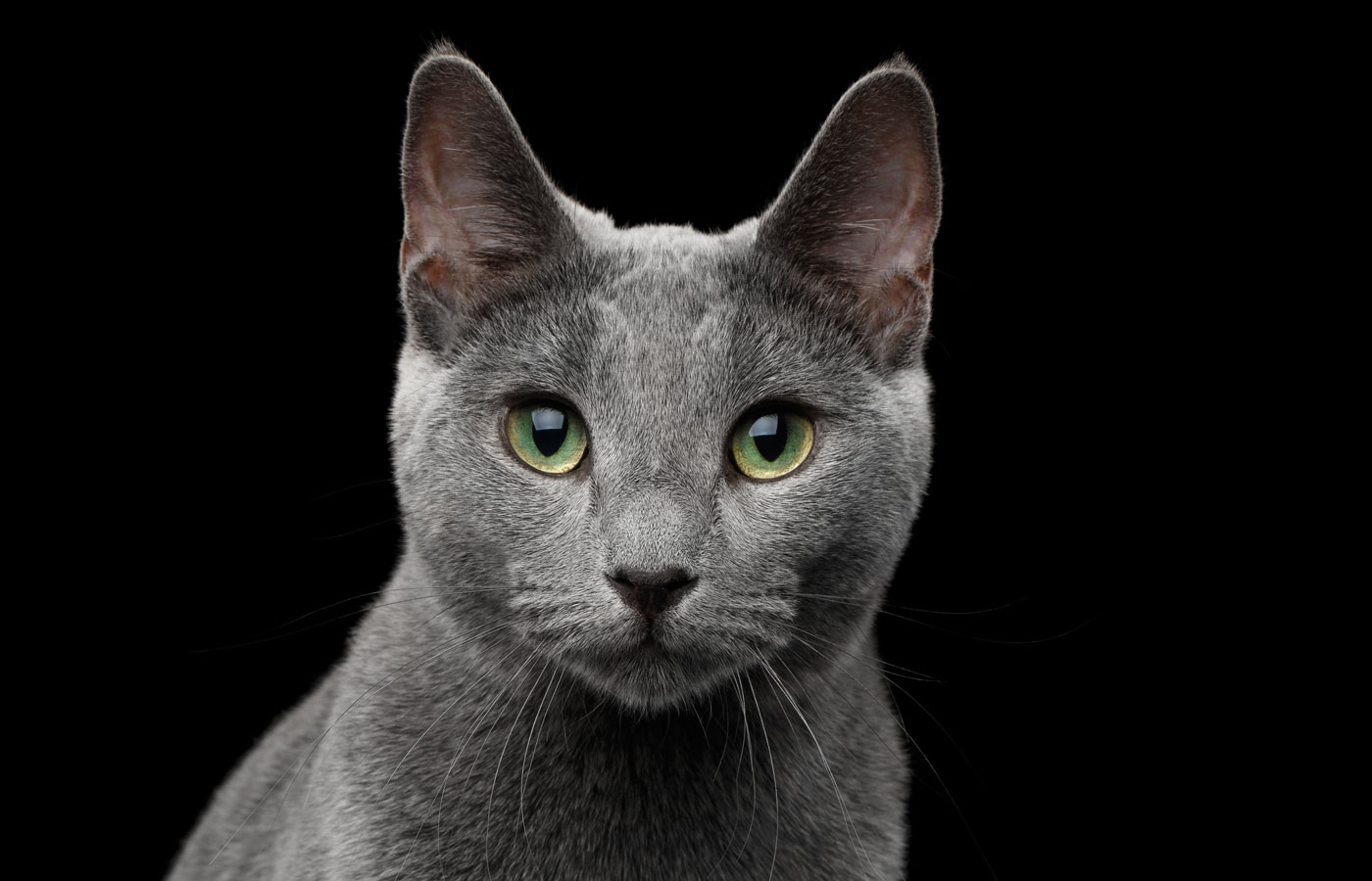 Close-up portrait of Russian blue cat with amazing green eyes and gray silver fur looking in camera on isolated black background
