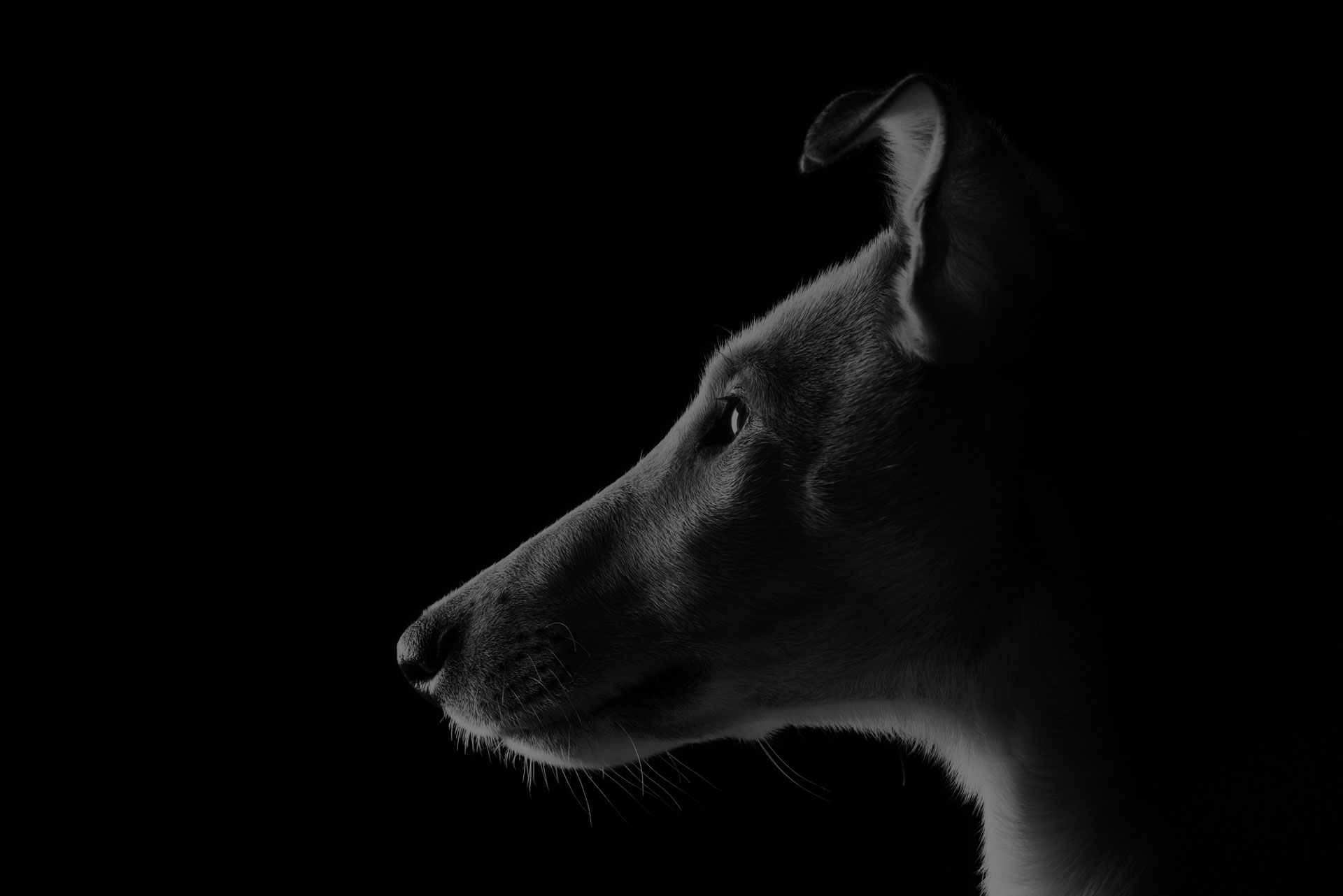 Studio portrait of a young smooth collie in black and white with black background - Image