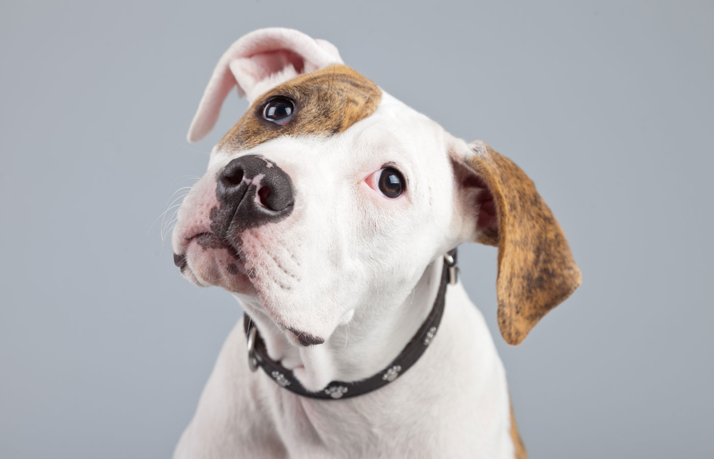 Puppy american bulldog white with red spots isolated against grey background. Studio portrait.