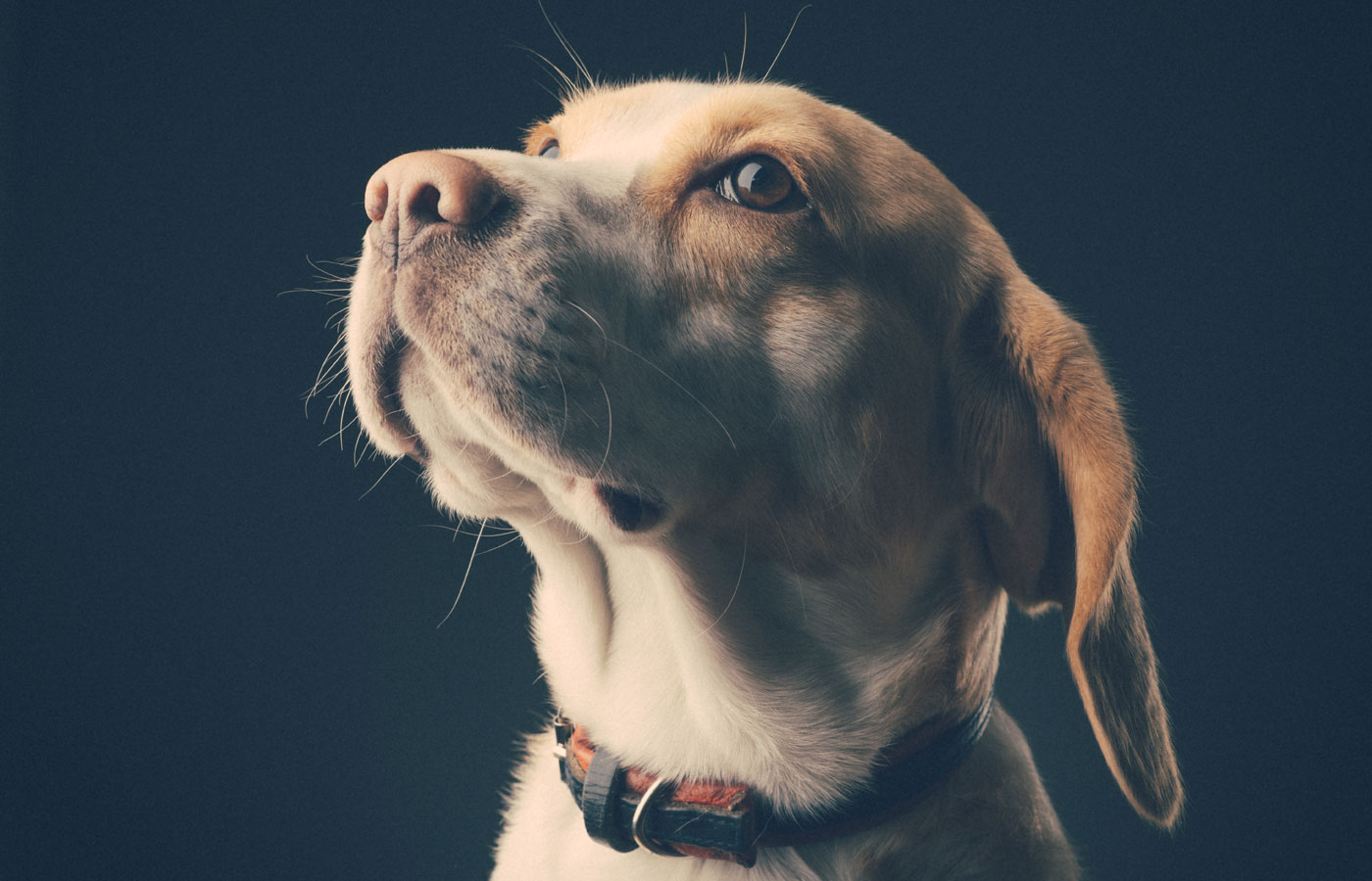 Portrait of a dog - beagle